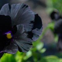 черные анютины глазки :: Елена Шмойлова