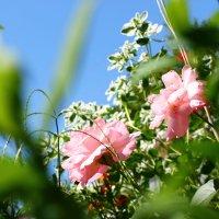 розы :: Anna Shargina