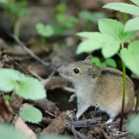 Мышка :: Светлана Тишкова