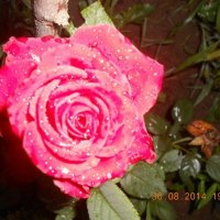 Утренняя роза :: Елена