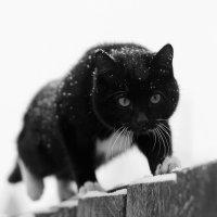 Кот на заборе :: Павел Крутенко