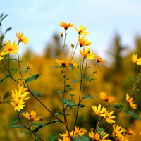 Осенний топинамбур... :: Андрей Вестмит