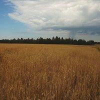 поле в августе. :: Ирина Шершнева