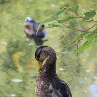 А говорят из гадких утят лебеди получаются....... :: Tatiana Markova