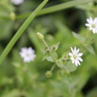 Белые полевые цветы. :: София Петухова