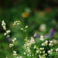 Луговые цветы :: Натали V