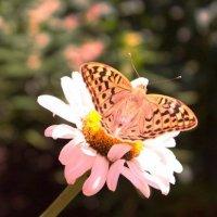 бабочка :: Ольга Метла