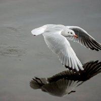 скользящая над водой :: Александр Шурпаков