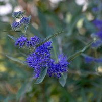 Голубые ветки кариоптериса :: Елена Ахромеева