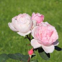 Ностальгия по розовому зефиру.... :: Tatiana Markova