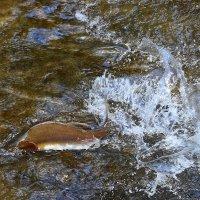 Ход лосося на Сахалине-2 :: Михаил Дьячков