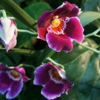 Орхидея. Мильтония Miltonia. Родина – Колумбия, Перу :: Елена Смолова