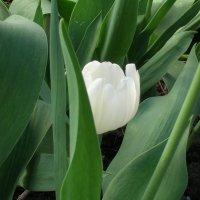 Застенчивый тюльпан :: Геннадий Храмцов