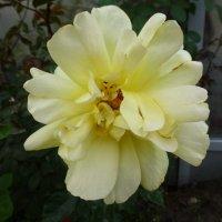 Роза в сентябре :: Наиля