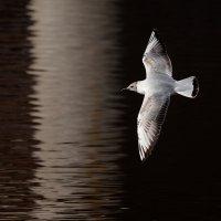 Чайка над водой :: Анатолий Тимофеев