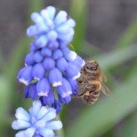 Пчелка, трудится :: Марина Соколовская