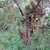 Дерево на реке :: Татьяна Ребенок
