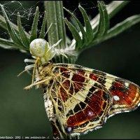 Паук и бабочка :: DR photopehota