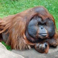 Глава клана орангутанов :: Марина Витушкина