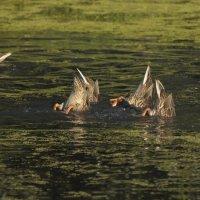 Александр Шмидт - Чемпионат пруда по синхронному плаванию :: Фотоконкурс Epson