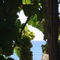 Лоза винограда на берегу моря :: Ekaterina Shchurina