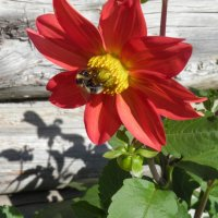 Пчелка :: Людмила Зяблова