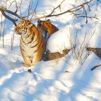 Амурские тигры :: Александр Морозов