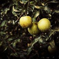 Яблоки в саду :: Александр Идикеев