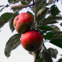 осенние яблоки :: inna mac