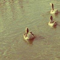 Гуси на реке :: Елена Сулима
