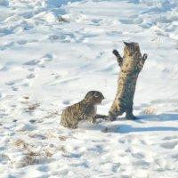 Драка котов :: Александр Морозов