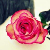 Роза :: Алёна Шкобенева