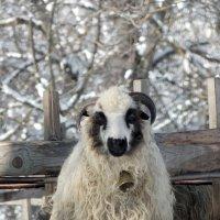 Вівця :: Анатолій Дубаневич