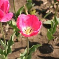 Тюльпаны :: Владимир Немцев