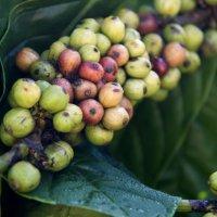 Зерна вьетнамского кофе :: Ekaterina Shchurina