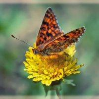 Бабочка :: Ирина Петрушкова
