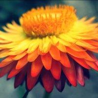Огненный цветок :: Larisa Oparina