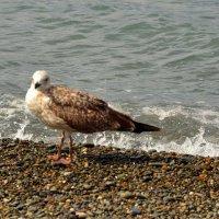 Чайка :: Владимир Болдырев