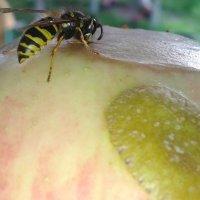 Пчела :: Павел Trump