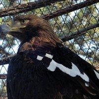Орёл в неволе :: Нина Корешкова