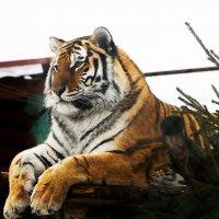 Король зоопарка :: Валентина Илларионова (Блохина)