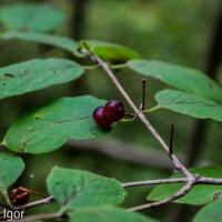 ягоды наверно ядовитые :: игорь душкин