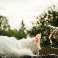 кошки :: игорь душкин