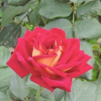 Розы в монастырском саду. :: Геннадий Александрович