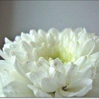 Белая нежность :: Лидия (naum.lidiya)