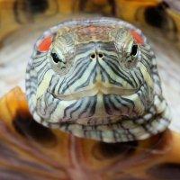 Черепаха :: Sasha Teslin