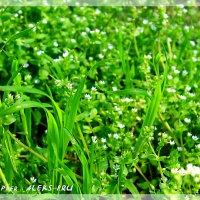 Зеленый ковёр ... :: Allekos Rostov-on-Don