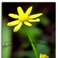 Желтый цветок :: Елена Дранищева