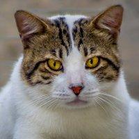 Портрет по заказу-из серии кошки очарование моё! :: Shmual Hava Retro