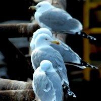Каспийские чайки :: Ахмед Овезмухаммедов